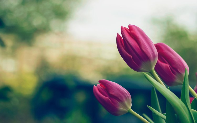 flowers, buds, leaves, petals, spring, tulips, stems