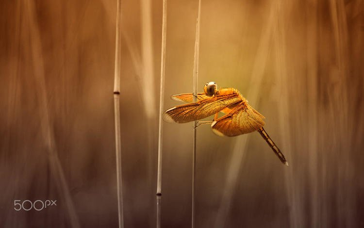 grass, insect, wings, blur, dragonfly, stems, alfian ismail