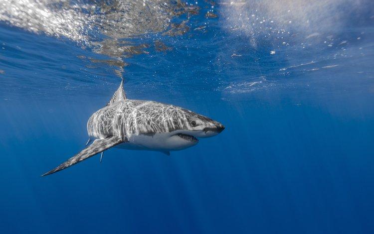 sea, shark, underwater world, white shark