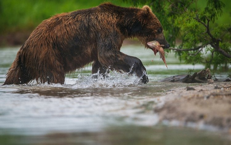 face, water, paws, bear, fish, fishing, alexander markelov