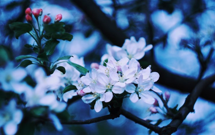 цветы, цветение, ветки, весна, яблоня, flowers, flowering, branches, spring, apple