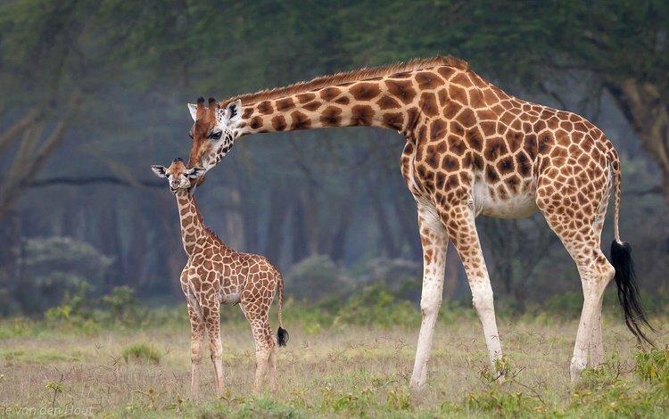 africa, mom, baby, giraffes