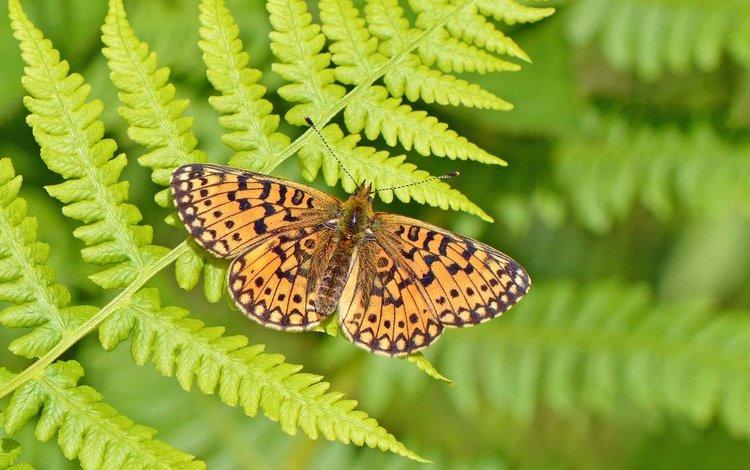 насекомое, бабочка, крылья, папоротник, боке, шашечница, insect, butterfly, wings, fern, bokeh, the metalmark
