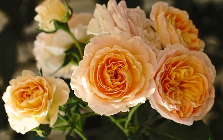 flowers, buds, roses, petals, yellow roses
