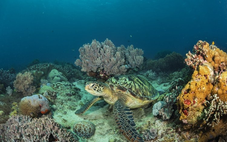sea, turtle, underwater world, coral reef