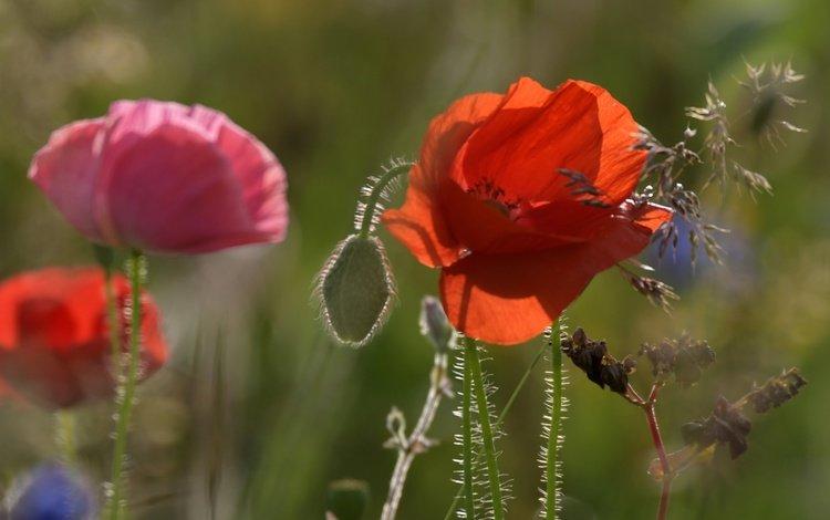 flowering, field, summer, petals, maki, mac, stems