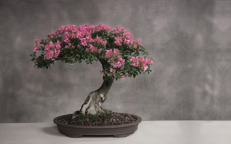 цветение, серый фон, деревце, бонсай, flowering, grey background, tree, bonsai