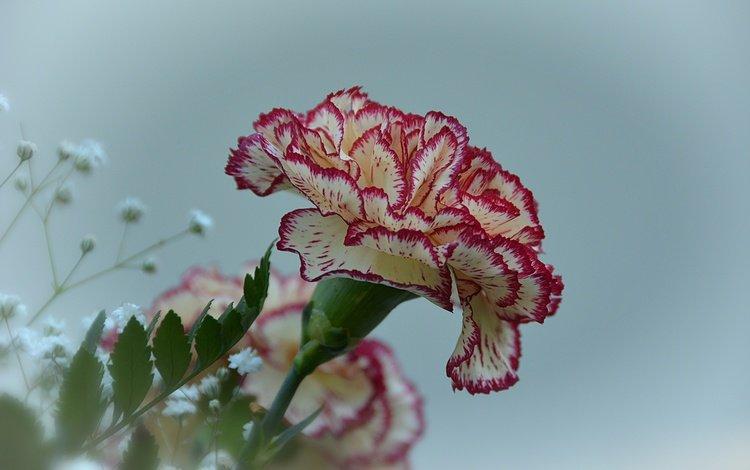 цветы, цветок, гвоздика, гипсофила, flowers, flower, carnation, gypsophila