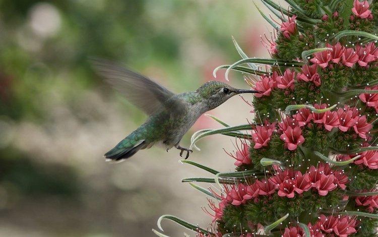 цветок, птица, птичка, нектар, колибри, боке, крылья.клюв, flower, bird, nectar, hummingbird, bokeh, wings.beak