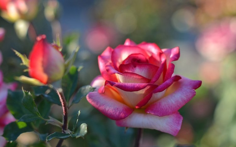 цветок, роза, лепестки, бутон, куст, боке, flower, rose, petals, bud, bush, bokeh