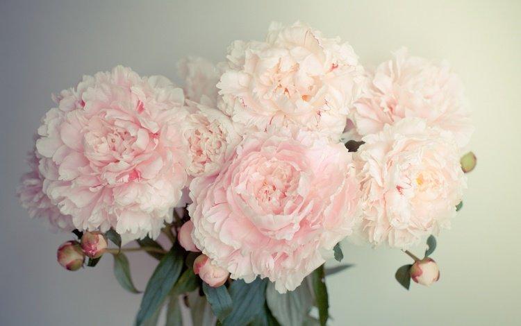 flowers, buds, petals, bouquet, peonies