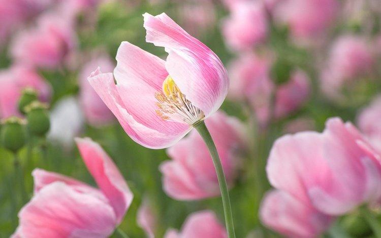цветы, цветение, лепестки, маки, розовые, flowers, flowering, petals, maki, pink