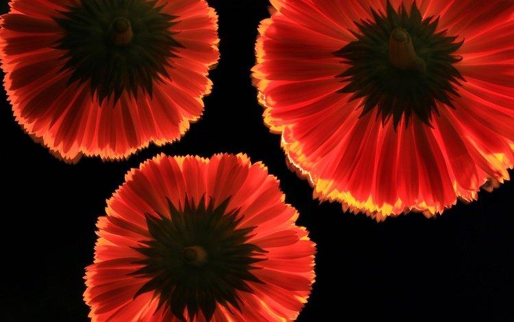 цветы, фон, лепестки, красные, черный фон, герберы, flowers, background, petals, red, black background, gerbera