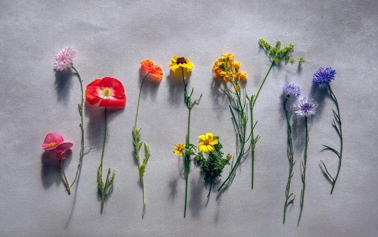 flowers, macro, background, mac, wildflowers, cornflower