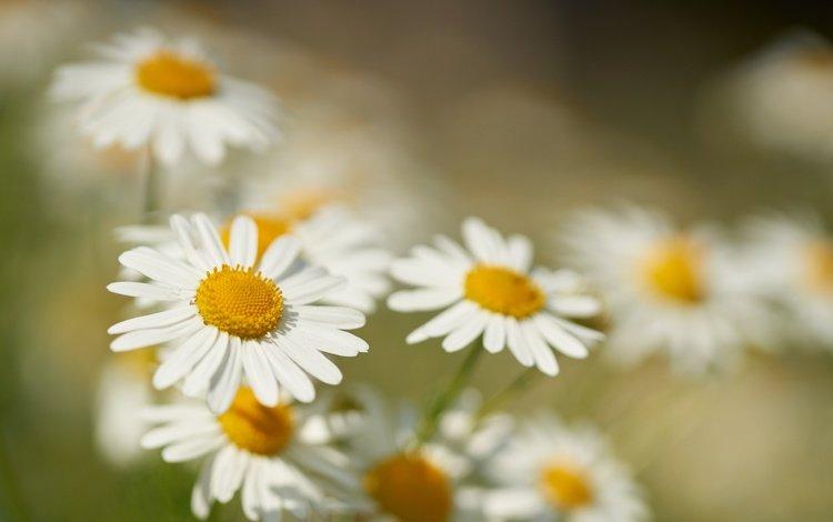 flowers, macro, petals, blur, chamomile, bokeh