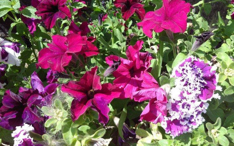 цветы, листья, лепестки, петунии, flowers, leaves, petals, petunias