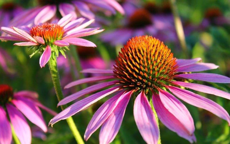 flowers, nature, petals, echinacea