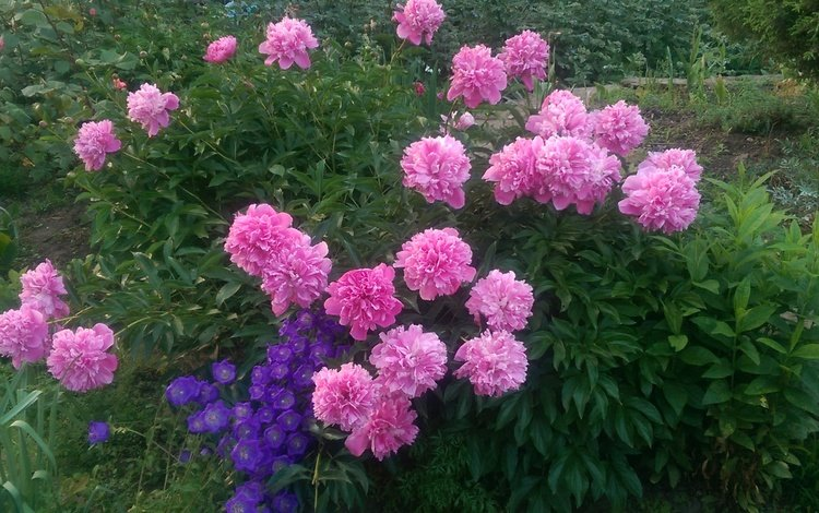 flowers, nature, buds, leaves, summer, peonies