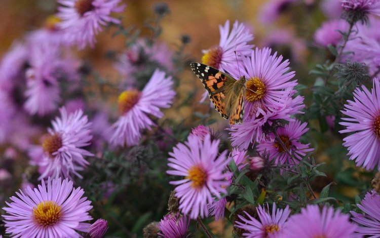 flowers, nature, insect, autumn, butterfly, wings, asters, santbrink