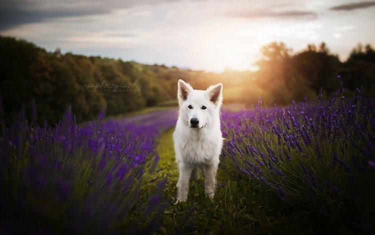 flowers, nature, muzzle, lavender, look, dog, the white swiss shepherd dog