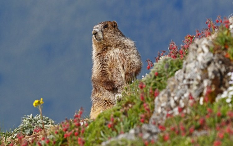 the sky, flowers, nature, animal, marmot, rodent