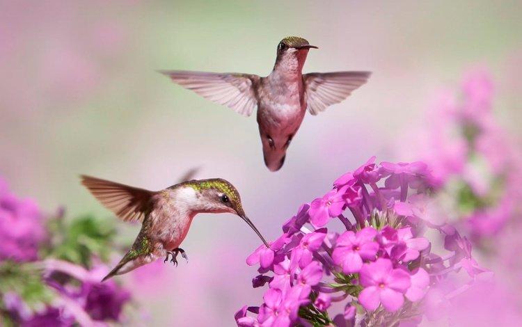 flowers, flight, blur, birds, beak, pair, hummingbird, bokeh