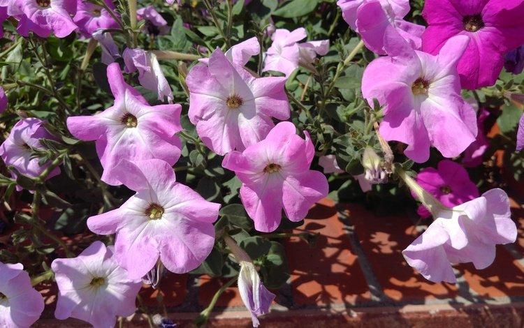 flowers, pink, petunias