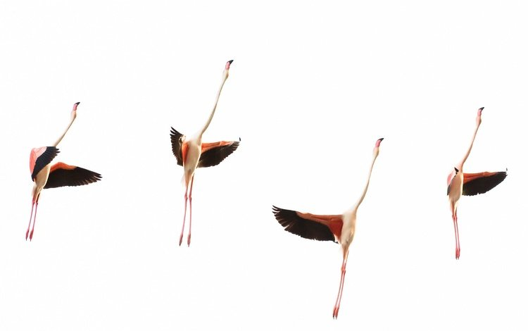flamingo, wings, birds, pack, neck