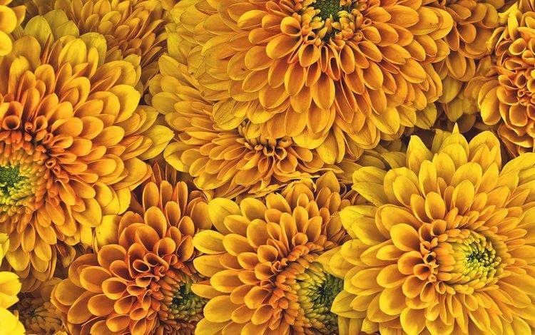 flowers, background, petals, chrysanthemum, yellow flowers