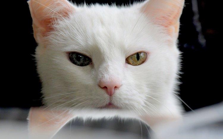 глаза, кот, мордочка, усы, кошка, взгляд, белый, разные глаза, eyes, cat, muzzle, mustache, look, white, different eyes