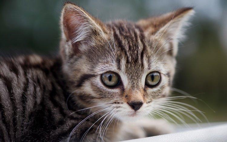 глаза, кот, мордочка, усы, кошка, взгляд, котенок, малыш, eyes, cat, muzzle, mustache, look, kitty, baby