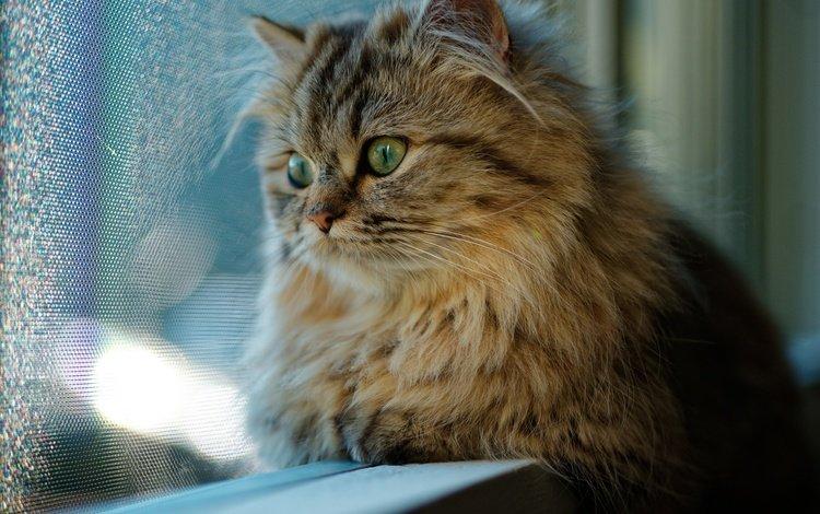 кот, мордочка, усы, кошка, взгляд, окно, cat, muzzle, mustache, look, window