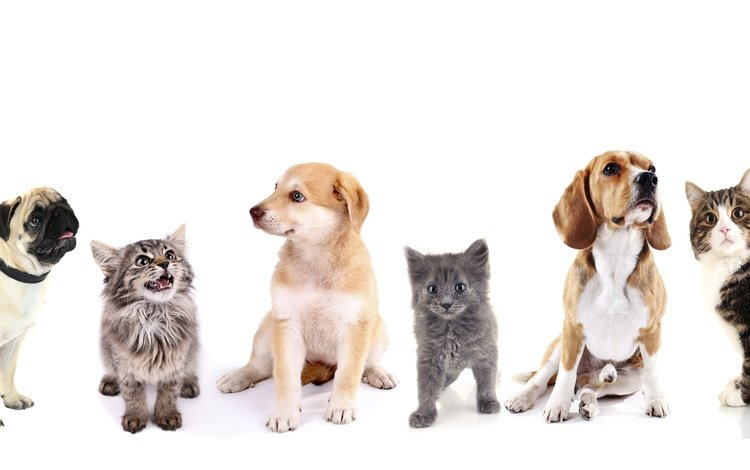 cat, kitty, puppy, white background, cats, friends, dogs, pug, retriever, beagle