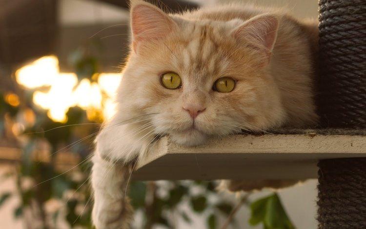 кот, мордочка, усы, кошка, взгляд, рыжий кот, cat, muzzle, mustache, look, red cat