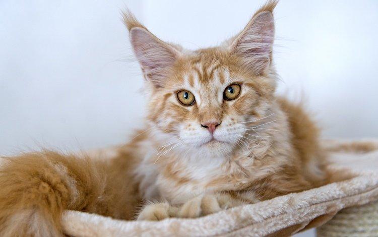 кот, мордочка, усы, кошка, взгляд, рыжий, мейн-кун, cat, muzzle, mustache, look, red, maine coon