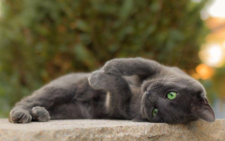 кот, мордочка, усы, кошка, взгляд, серый, зеленые глаза, cat, muzzle, mustache, look, grey, green eyes