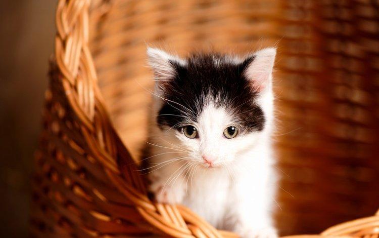 кот, мордочка, усы, кошка, взгляд, котенок, корзина, малыш, cat, muzzle, mustache, look, kitty, basket, baby