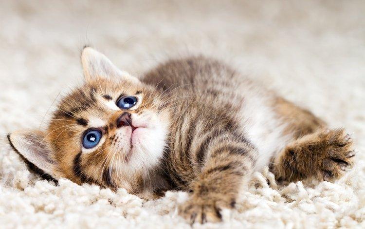 кот, мордочка, усы, кошка, взгляд, котенок, ковер, пушистик, cat, muzzle, mustache, look, kitty, carpet, pussy