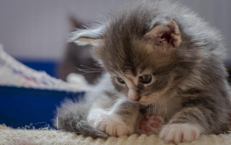 кот, мордочка, усы, кошка, взгляд, котенок, малыш, лапки, cat, muzzle, mustache, look, kitty, baby, legs