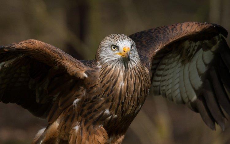 крылья, хищник, птица, клюв, перья, коршун, milvus, wings, predator, bird, beak, feathers, kite