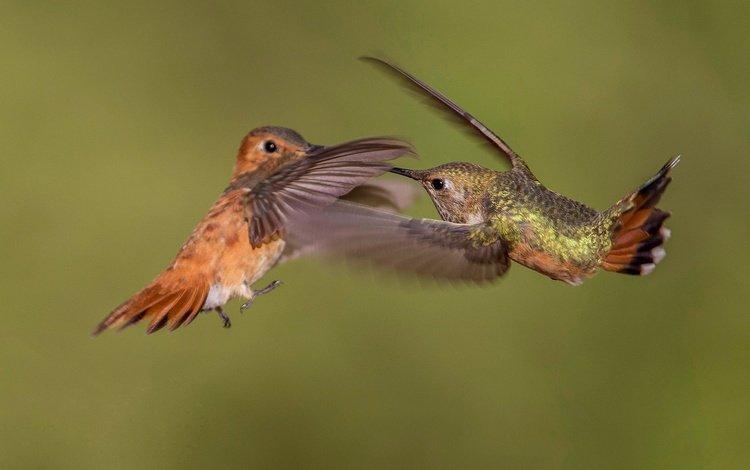 wings, bird, beak, pair, hummingbird, buffy hummingbird