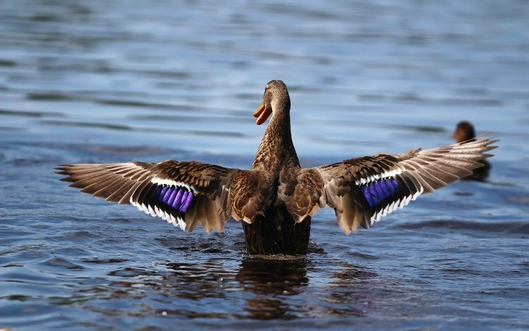 wings, bird, lake, duck