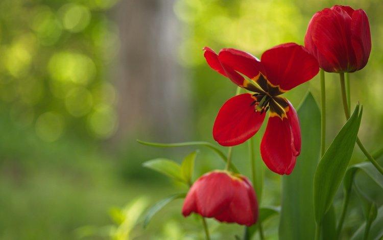 цветы, лепестки, бутон, тюльпаны, боке, красные тюльпаны, flowers, petals, bud, tulips, bokeh, red tulips