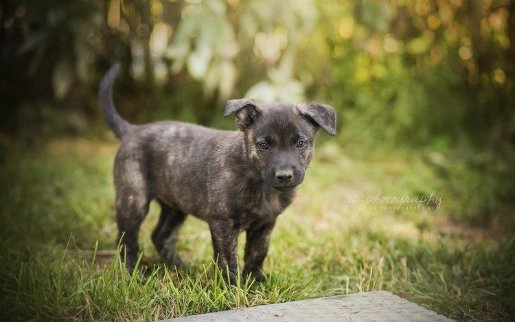 трава, мордочка, лето, взгляд, собака, щенок, grass, muzzle, summer, look, dog, puppy