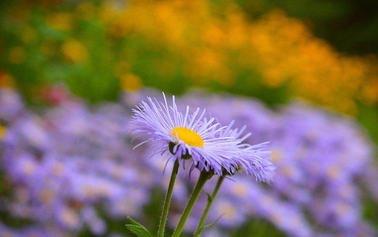 flowers, petals, blur, stems, astra, asters, astra tatar
