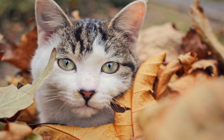 листья, кот, мордочка, усы, кошка, взгляд, осень, leaves, cat, muzzle, mustache, look, autumn
