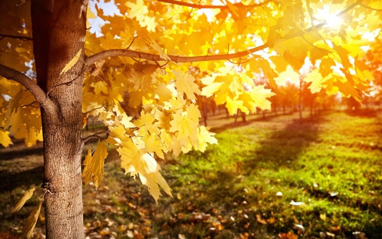 trees, leaves, rays, branches, foliage, autumn, maple