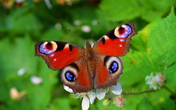 растения, макро, насекомое, бабочка, крылья, павлиний глаз, plants, macro, insect, butterfly, wings, peacock