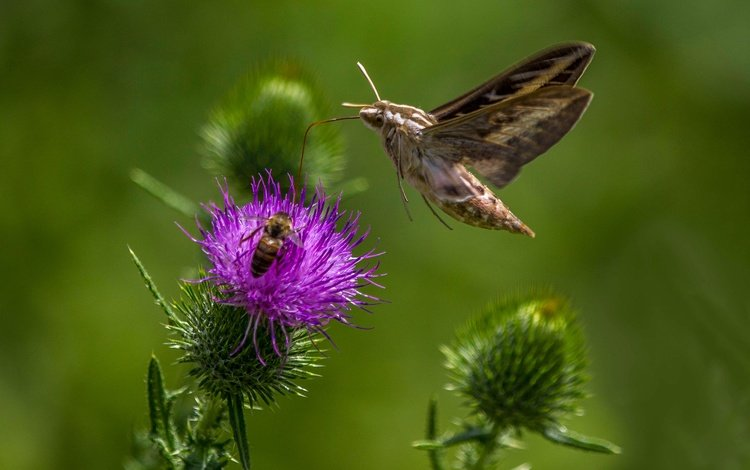 macro, flower, butterfly, insects, bee, moth, hyles, bar hyles