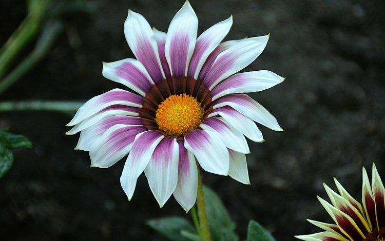 macro, flower, petals, gazania